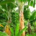 ต้นกล้วย เรื่องกล้วยๆ ประโยชน์ของต้นกล้วย