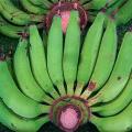 กล้วย เรื่องกล้วยๆ กับกล้วยเล็บมือนาง