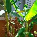 โรคของกล้วย วิธีการป้องกันและกำจัดโรคกล้วย