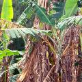 โรคกล้วย โรคตายพรายของกล้วย ผลกระทบของโรคกล้วย