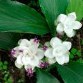 กระเจียวขาว กระชายดง กระเจียวป่า ไม้ดอกไม้ประดับในกระถาง