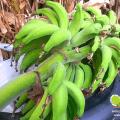 ความแตกต่างของกล้วยหมากกับกล้วยเล็บมือนาง ความแตกต่างของกล้วย