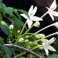 ปีบ หรือ กาซะลอง ไม้ดอกกลิ่นหอม พันธุ์ไม้มงคลพระราชทานประจำจังหวัดพิษณุโลก