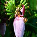 หัวปลี หรือ ปลีกล้วย ตัดหัวปลีมาทำเป็นอาหาร