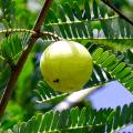 มะขามป้อม หรือ มะขามป้อมอินเดีย ผลไม้รสเปรี้ยวที่มีวิตามินซีสูง