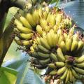 พันธุ์กล้วยไข่ กล้วยไข่พันธุ์กำแพงเพชร กล้วยไข่พระตะบอง