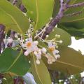กระทิง หรือ สารภีทะเล ไม้ดอกกลิ่นหอม พรรณไม้ในวรรณคดี