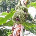 กล้วยหิน ของดีภาคใต้ กล้วยที่นิยมนำมาเป็นอาหารนกกรงหัวจุก