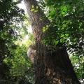 ตะเคียน ไม้ต้นขนาดใหญ่ ไม่แพ้ไม้ยาง ต้นไม้ประจำจังหวัดปัตตานี