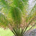 สาคู ลำต้นคล้ายปาล์ม พืชท้องถิ่นเอเชีย พืชสารพัดประโยชน์