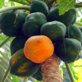 มะละกอ ผลไม้รับประทานสด กับเมนูอาหารสุดฮิต ส้มตำมะละกอ