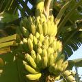 มาแปรรูปกล้วยน้ำว้าผลิตผลทางการเกษตร เป็นกล้วยรังนกกันเถอะ