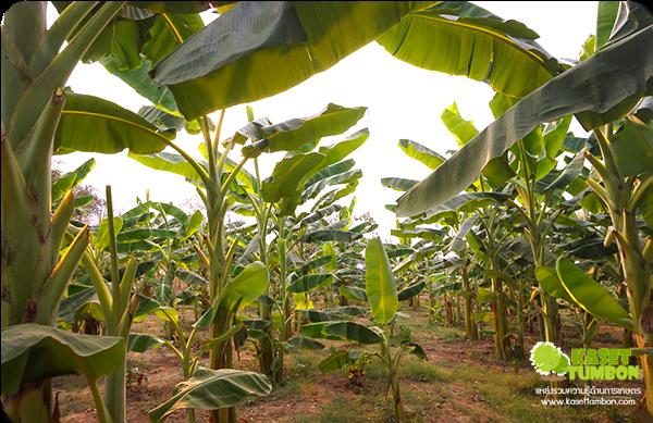 ประโยชน์ของต้นกล้วย