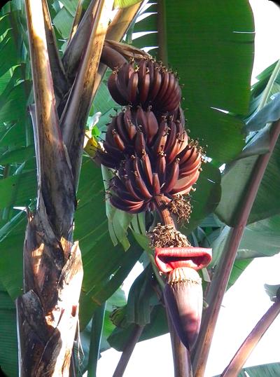 พันธุ์กล้วย กล้วยนาก หรือ กล้วยกุ้ง กล้วยกุ้งแดง