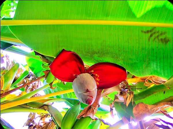 ิกล้วย ประวัติของกล้วย