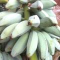 กล้วยหักมุก พันธุ์กล้วยหักมุก กล้วยทานผลสุก