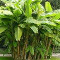 กล้วย ผลไม้เครือ มีผลเป็นหวี กินดิบก็ได้ แปรรูปก็ดี พร้อมประโยชน์สรรพคุณ