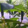 โรคหนอนม้วนใบกล้วย ผลกระทบของแมลงศัตรูกล้วย