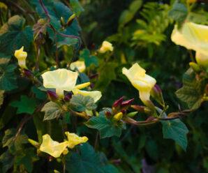 จิงจ้อ ไม้เถาทอดเลื้อยต่ำ ดอกสีเหลืองสด