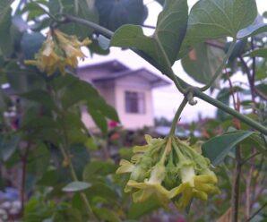 ขจร ดอกขจร ผักสลิดคาเลา ไม้เถาเลื้อยพาดพันต้นไม้ใหญ่ ช่อดอกสีเหลืองอมชมพูอ่อน