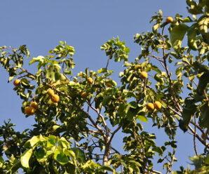 บักกระท้อน ไม้ต้นขนาดกลาง เป็นกลุ่มยา แก้บิด ท้องเดิน ท้องร่วง โรคกระเพาะ