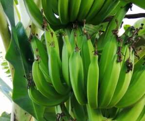 กล้วยขนุน มีเนื้อเหนียว ผลสุกรสชาติหวานเล็กน้อย มีกลิ่นหอมอ่อนคล้ายกลิ่นขนุน ไม่มีเมล็ด