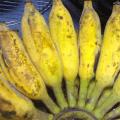 กล้วยนํ้าว้า กล้วยใต้ กล้วยอ่อง กล้วยตานีอ่อง กล้วยมะลิอ่อง ผลไม้เครือมากสรรพคุณ
