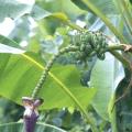 กล้วยป่า กล้วยเถื่อน ผลไม้เครือ พืชไม้เนื้ออ่อน รสหวาน มีเมล็ดมาก