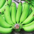 กล้วยหอมเขียว กลิ่นหอมฉุน รสหวาน เนื้อเละ เปลือกหนากว่ากล้วยหอมทอง