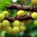 มะยม หรือ ลูกยม ผลไม้รสเปรี้ยว ไม้มงคลนิยมปลูกไว้หน้าบ้าน