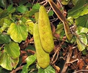ชงโคย่าน เป็นไม้ประดับปลูกตามบ้านหรือสวนควบคู่ไปกับไม้ใบแฝดอื่นๆ