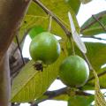 ฝรั่งขี้นก บักสีดา หรือ ฝรั่งสีชมพู ผลไม้ไทยโบราณมากประโยชน์