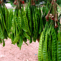 สะตอ รสชาติคล้ายกระถิน เมล็ดมีกลิ่นเฉพาะตัว อาหารไทยขึ้นชื่อของภาคใต้