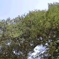 มะขาม ไม้มงคล ผลไม้รสเปรี้ยว ต้นไม้ประจำจังหวัดเพชรบูรณ์