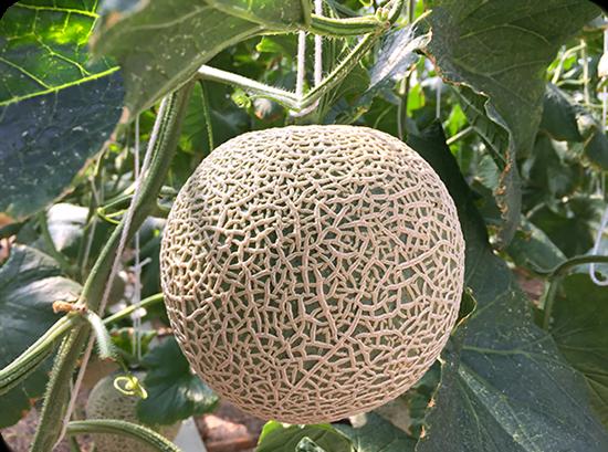 เมล่อน ราชินีแห่งพืชตระกูลแตง ผลไม้หน้าร้อน อายุการเก็บเกี่ยวสั้น ให้ผลผลิตไว