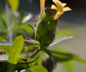 หางกระรอก ว่านเสลดพังพอน  ชองระอา ดอกหางเสือ หางเห็น
