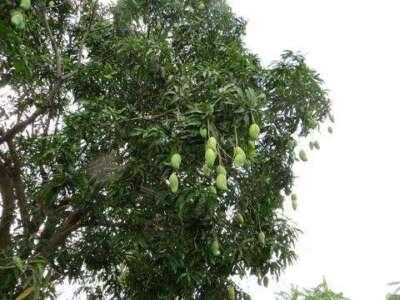 ต้นมะม่วงพิมเสน