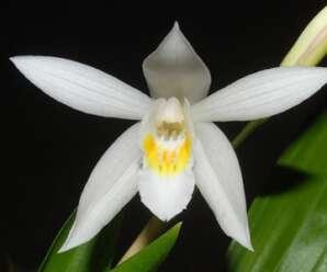 เอื้องมัน ลำต้นเป็นลำ แผ่นใบค่อนข้างหนาและแข็งแรง ดอกสีขาว บริเวณคอปากสีเหลือง