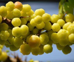 หมากยม มะยม ยอดอ่อนรับประทานเป็นผัก ผลรับประทานเป็นผลไม้