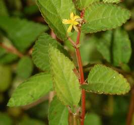 กระเจานา เป็นพืชเส้นใย เปลือกใช้ทำเชือก ลำต้นใช้เลี้ยงสัตว์