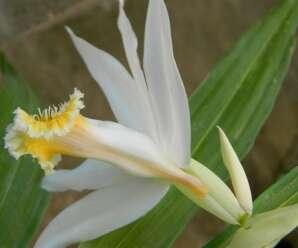 เอื้องช้างงาเดียว ดอกสีขาว กลีบปากสีเหลือง กลางกลีบมีขนเรียงเป็นแถว