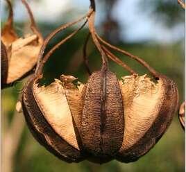 กระเช้าผีมด ต้นเป็นยาทำให้ธาตุปกติ ยอดอ่อนและใบอ่อน ใช้ประกอบอาหาร