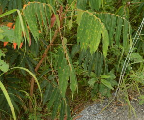 สะเดาช้าง ดอกอ่อน ใช้รับประทานได้ เนื้อไม้ใช้ทำเฟอร์นิเจอร์