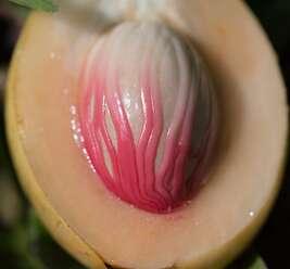 จันทน์เทศ ผลกลมรี เปลือกสีเหลือง เนื้อมีรสเปรี้ยวฝาด กลิ่นหอม