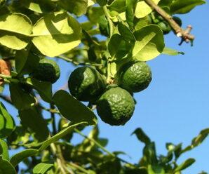 บักกูด มะกรูด เป็นพืชในสกุลส้ม ผล ใบ ราก นำไปประกอบอาหารและนำไปเป็นยาสมุนไพร