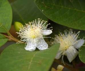 ฝรั่ง ผลไม้ที่มีวิตามินซีสูง เป็นผลไม้ที่ช่วยบำรุงเหงือกและฟัน ช่วยลดน้ำตาลในเลือด
