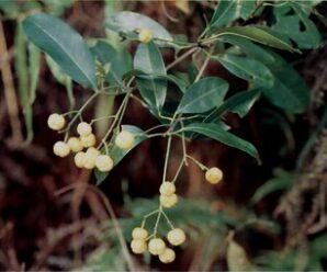 มะยมป่า ลำต้นเปลาตรง เปลือกสีน้ำตาลอมดำ