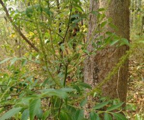 ราชดัด ไม้ยืนต้นขนาดเล็ก ผลสุกมีสีดำ