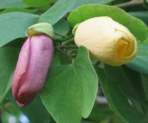 พญากาหลง ดอกสีเหลืองอ่อน เกสรสีดำ ดอกแก่จะเปลี่ยนสีเป็นสีม่วงอ่อน