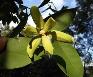 การเวก  ดอกคล้ายกระดังงาจีน ดอกมีกลิ่นหอม ออกดอกตลอดทั้งปี
